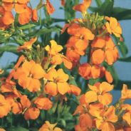 Wallflower Golden Bedder - appx  200 seeds - Biennual